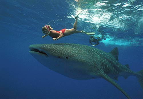 Snorkel with giant Whale Sharks in the wild!