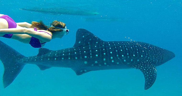 Whale Shark Snorkeling In Cancun